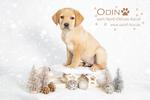 Quaint Edition, Labradorzucht Nord-Ostsee-Kanal, Odin